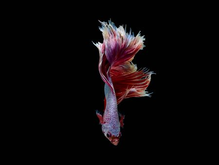 Photo pour Action and movement of Thai fighting fish on a black background, Halfmoon Betta - image libre de droit