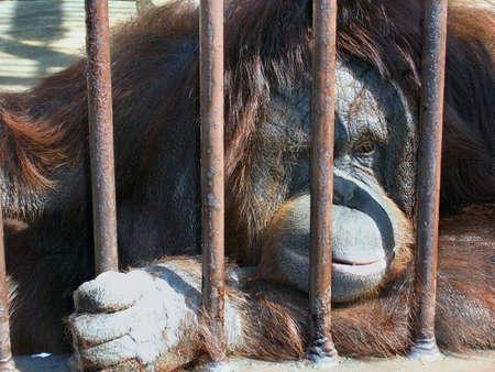 Sad Orangutan