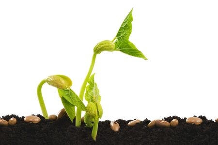 Germinating bean seed in soil against white.