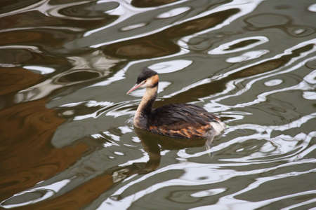 Duck on the water - reflections of light on the surface of the water