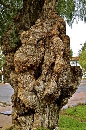 Diseased three  with huge fungus growth
