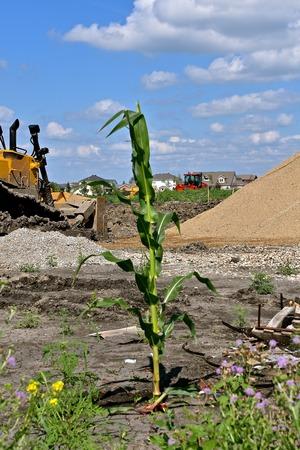 Foto für A lone maturing stalk of corn grown in a construction zone of new residential homes - Lizenzfreies Bild