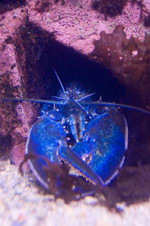 Rare Blue Lobster along the Maine Coast