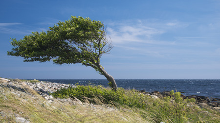 Lonely tree bent by the wind at the sea coast