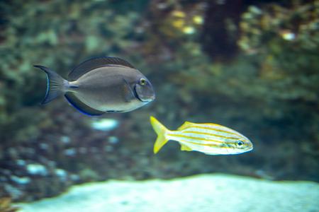 Photo pour Blue surgeon fish (Acanthurus coeruleus) and smallmouth grunt (Haemulon chrysargyreum) - image libre de droit