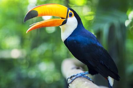 Toucan Exotic Bird in Natural Setting Near Iguazu Falls, Foz do Iguaçu, Brazil