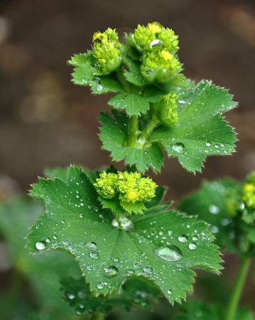 Leaves of a Lady's mantle plant with silver water drops