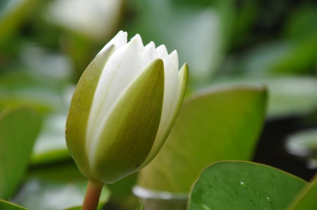 Close-up of White lotus bud in a pond (Nymphaea alba)