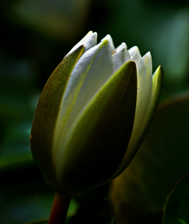 Close-up of a White lotus bud (Nymphaea alba)