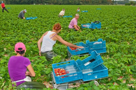 Photo pour Harvesting strawberries at a field near the Dutch village of Wouw, North Brabant. Foreign Polish workers picking strawberries at a horticultural company in the Netherlands on September 15, 2011  - image libre de droit