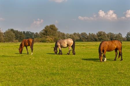 Horses grazing in grassland of National Park De Biesbosch in the Netherlands
