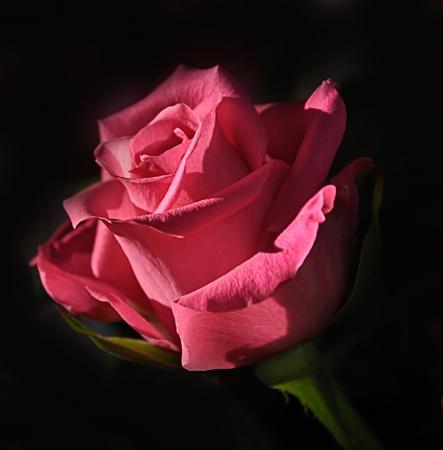 Rose against a dark background