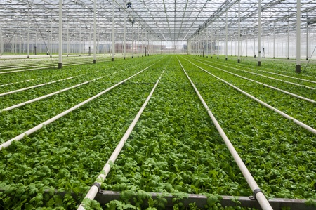 Young plants growing in a very large plant nursery in the Netherlands