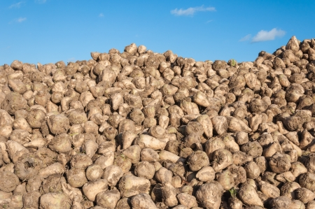 A heap of sugar beets in wintry sunlight waiting for transport to the the sugar refinery.