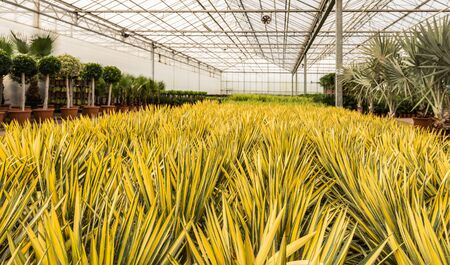 Green en yellow colored Yuccas at an import company of tropical plants in the Netherlands.