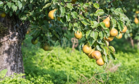 Low hanging and easy to pick Conference pears at a low tree.