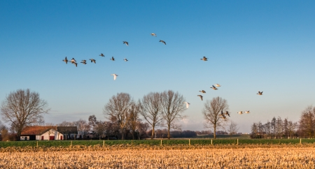 Geese flying away above a stubble field in the low sunlight of the late afternoon in winter