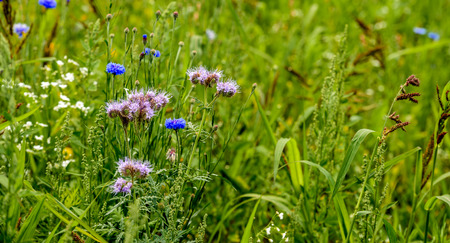 Ecologic field edge in the Netherlands from close with wild plants and flowers such as cornflowers, grasses and lacy phacelia.