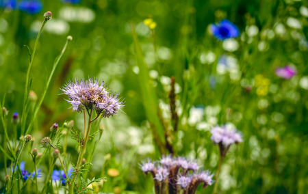Ecologic field edge in the Netherlands from close with wild plants and flowers such as cornflowers, grasses and lacy phacelia. The purpose of it is to support the conservation of biodiversity.