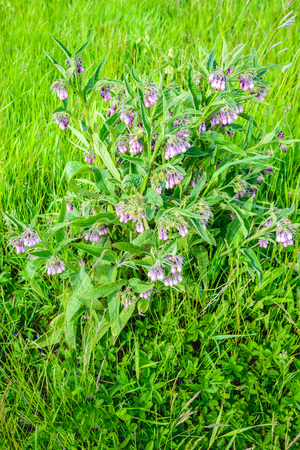Closeup of a violet and purple blossoming common comfrey or Symphytum officinale plant in its own natural habitat between other wild plants. It is sapringtime now.