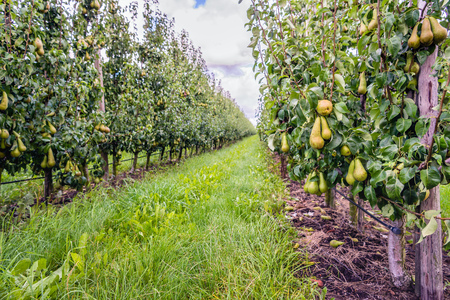 Foto für Almost harvest ripe Conference pears growing in a modern orchard in the Netherlands. It's just after the rain in the summer season. - Lizenzfreies Bild