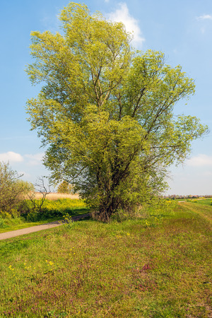 Photo pour Large willow bush just budding in springtime. The leaves are still small and light green colored. - image libre de droit