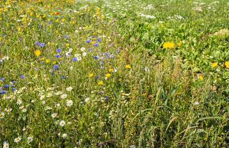 Colorful field border with varied sown flowers along the field with organically grown sugar beets. In the Netherlands, field margins are subsidized to promote biodiversity and conservation of insects.