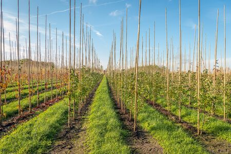 Photo pour Endless long rows of young trees supported with bamboo sticks in a Dutch tree nursery. Strips of grass are between the rows. It is autumn in the Netherlands. - image libre de droit