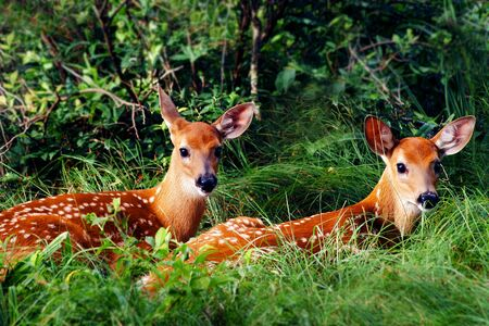 Two Whitetail Fawn Resting under Bush