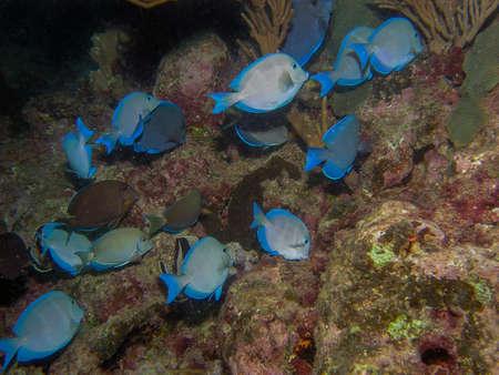 Photo pour Blue Caribbean Tang (Acanthurus coeruleus) - image libre de droit