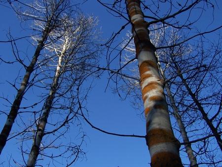 Diseased Aspen with Orange Fungus with Blue Sky