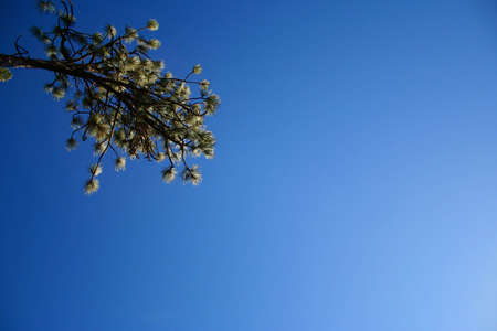 A pine branch surrounded by deep blue sky.