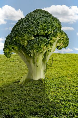 Large tree of delicious and nutritious broccoli in a field