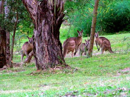 Lithgow Kangaroos