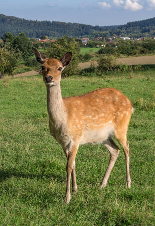 An European roe deer stands on a meadow near a village and look at the camera.