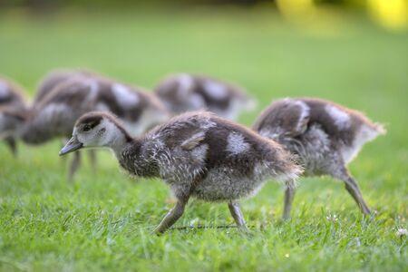 Foto de Close Up Of Baby Egyptian Gooses At Amsterdam The Netherlands 25-6-2020 - Imagen libre de derechos