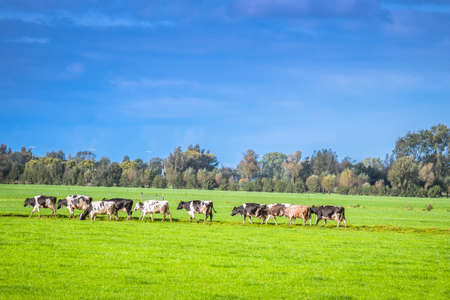 Photo for Close Up Of A Group Of Cows At Abcoude The Netherlands - Royalty Free Image