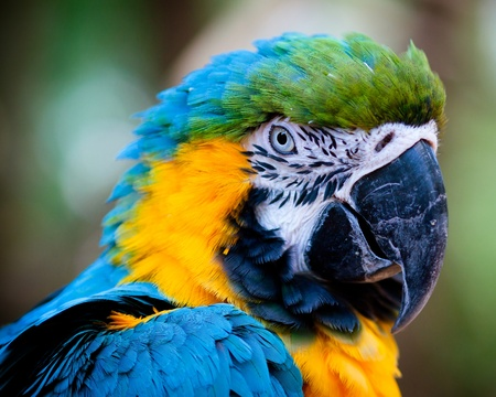 Blue and yellow macaw close up