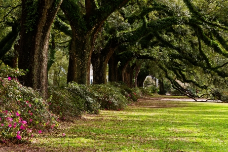 Foto de Line of ancient oak trees in park setting - Imagen libre de derechos