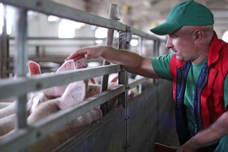 Farmer at work on a pig farm