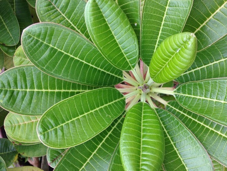 Plumeria Green leaves