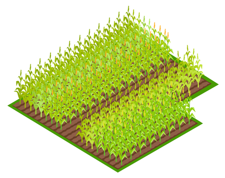 Illustration for Field with Growing Corn Crops VectoI illustration - Royalty Free Image