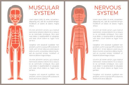 Illustration pour Muscular and Nervous System Anotomical Banner - image libre de droit