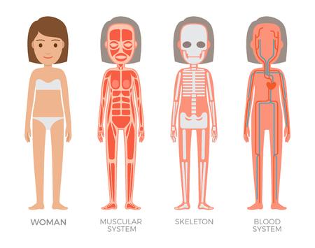 Illustration pour Woman muscular skeleton blood systems struct set, vector illustrations of organism with heart veins plasma arteries, bones and musculature structure - image libre de droit