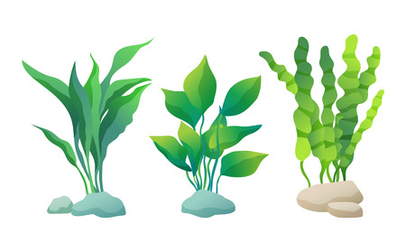 Illustration pour Sea or decorative aquarium algae vector illusatration set isolated on white. Seaweed or water plant with wavy, wide or straight leaves fixed on stone. - image libre de droit