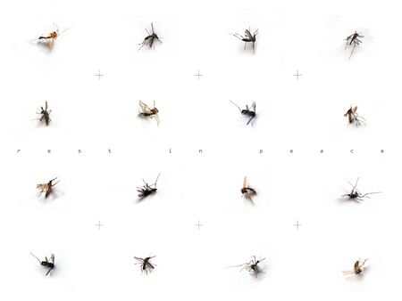 Image of dead mosquitos on white backgrounds