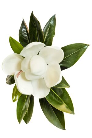 Photo pour Little Gem magnolia.  Dwarf variety of Magnolia Grandiflora. Also called Evergreen, Bull Bay, Laurel and Loblolly. Close up image of flower with leaves isolated on white background. - image libre de droit