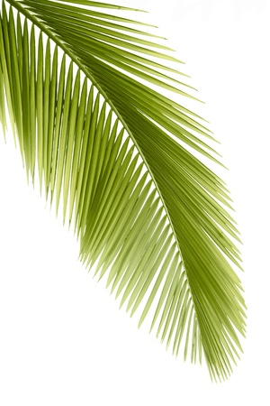 Part of palm leaf on white background