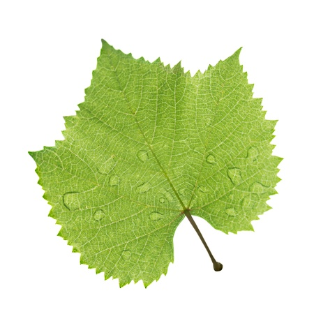 Grape leaf with water drop isolated on white
