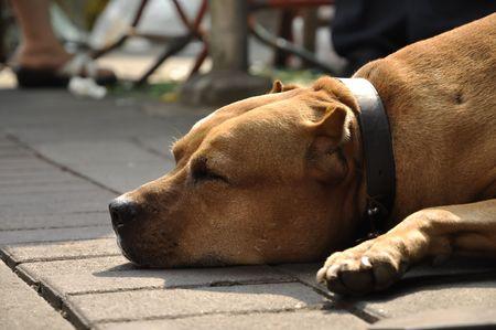 Pit Bull Terrier Sleep Brown Head